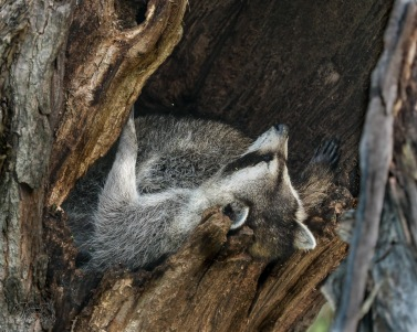 Mom and 3 kits are asleep in that tree!