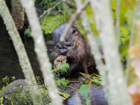 One of two otter pups having breakfast. I do believe I see beaver teeth. Such is the cycle of life in Murfree Springs.