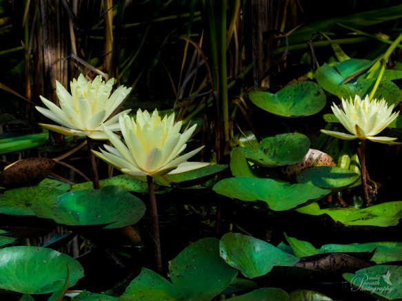 Water Lilies and shadow (1 of 1)