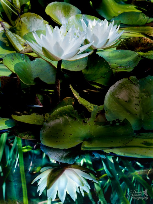 Water Lily and Light (11 of 1)